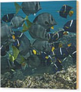 King Angelfish Holacanthus Passer Wood Print by Pete Oxford