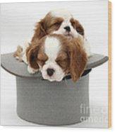 King Charles Spaniel Puppies Wood Print