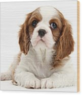 King Charles Spaniel Puppy Wood Print