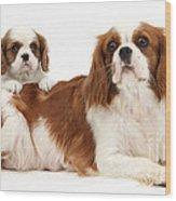 King Charles Spaniels Wood Print