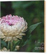 King Rose Strawflower Wood Print