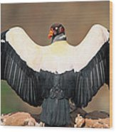King Vulture Sarcoramphus Papa Sunning Wood Print by Pete Oxford