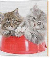 Kittens In A Food Bowl Wood Print