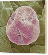 Kiwi Fruit Pollen Grain, Sem Wood Print by Steve Gschmeissner