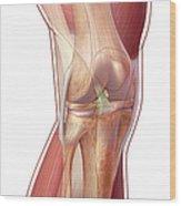 Knee Anatomy Wood Print