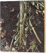 Knotted Wrack (ascophyllum Nodosum) Wood Print