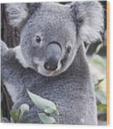 Koala In Tree Wood Print