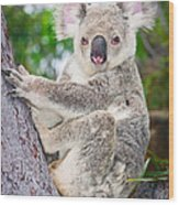 Koala  Wood Print by Johan Larson