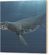 Kronosaurus Queenslandicus Swimming Wood Print
