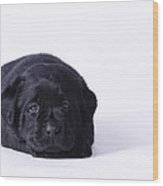 Lab Puppy Wood Print