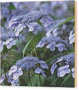 Lace Cap Hydrangeas In Bloom Wood Print