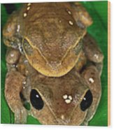 Lacelid Frog Nyctimystes Dayi Pair Wood Print