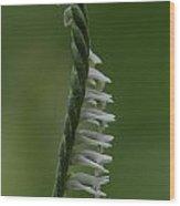 Ladies' Tresses Orchid Wood Print