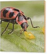 Lady Beetle Eats Potato Beetle Eggs Wood Print