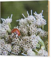 Ladybug Atop The Flowers Wood Print