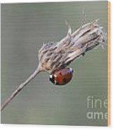 Ladybug On Dried Thistle Wood Print