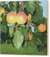Lake Country Apricots Wood Print