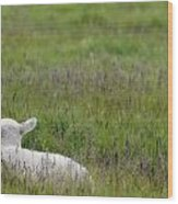 Lamb In Pasture, Alberta, Canada Wood Print