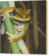 Large Arboreal Hylid Frog Wood Print
