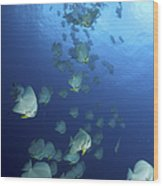 Large School Of Batfish, Christmas Wood Print