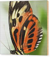 Large Tiger Butterfly Wood Print