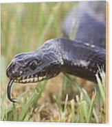 Large Whipsnake (coluber Jugularis) Wood Print by Photostock-israel