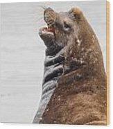 Laughing Sea Lion Wood Print