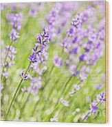 Lavender Blooming In A Garden Wood Print
