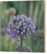 Lavender Flowering Onion Wood Print