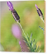 Lavender In The Sun Wood Print