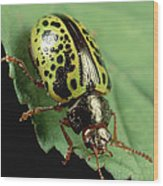 Leaf Beetle Calligrapha Sp Portrait Wood Print