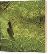 Leaf Miners In A Dock Leaf Wood Print by Vaughan Fleming