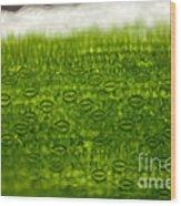 Leaf Stomata, Lm Wood Print