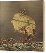 Leafcutter Ant Atta Sp Group Carrying Wood Print