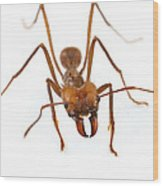 Leafcutter Ant Worker Costa Rica Wood Print