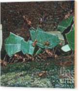 Leafcutter Ants Wood Print