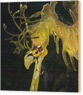 Leafy Sea Dragon Wood Print by Matthew Oldfield