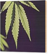 Leaves Of A Marijuana Plant Cannabis Wood Print