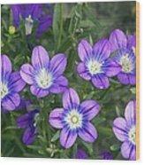 Legousia Pentagonia Flowers Wood Print by Bob Gibbons