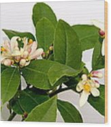 Lemon Blossom Wood Print