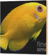 Lemonpeel Angelfish Wood Print