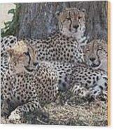 Leopards, Kenya, Africa Wood Print