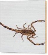 Lesser Brown Scorpion Wood Print