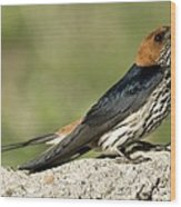 Lesser Striped Swallow Wood Print by Peter Chadwick