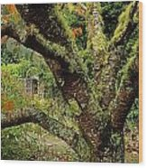 Lichen Covered Apple Tree, Walled Wood Print
