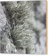 Lichen Niebla Podetiaforma Wood Print