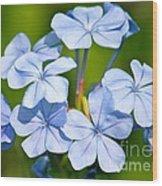 Light Blue Plumbago Flowers Wood Print by Carol Groenen