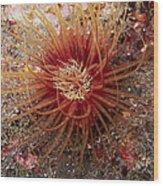 Light Brown Dark Banded Cylinder Anemone Wood Print