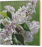 Lilac Named Beauty Of Moscow Wood Print