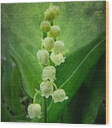 Lily Of The Valley - Convallaria Majalis Wood Print